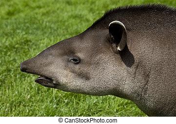 perfil, tapir