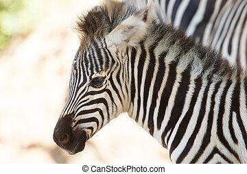 perfil, zebra, vista