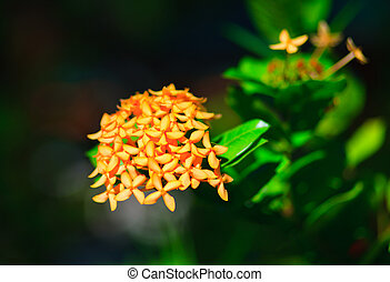 perfumed perfection plumeria frangipani