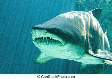 pericoloso, squalo, toro, mascella, enorme