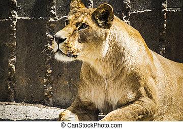 perigosa, poderoso, leoa, descansar, fauna, mamífero, withbrown, f