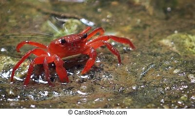 Perisesarma - red freshwater crab in the forest puddle. Thailand, Phuket. Video FullHD 1080p with natural sound