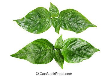 Peristrophe roxburghiana Violet Leaf