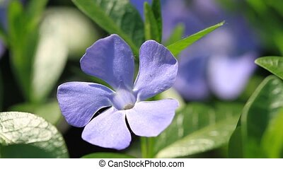 Periwinkle flowers blossom in the spring garden