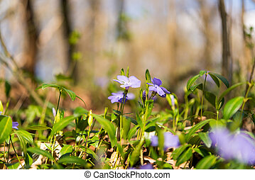 periwinkle growing in the forest in spring