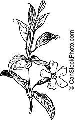 Periwinkle or Vinca minor, vintage engraving.