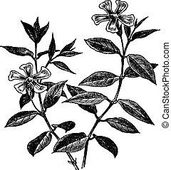 Periwinkle or Vinca minor, vintage engraving - Periwinkle or...