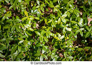 Periwinkle vinca plant in the garden ground - Periwinkle...