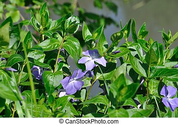 Periwinkles in bloom in a garden