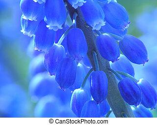 perle bleue, jacinthe