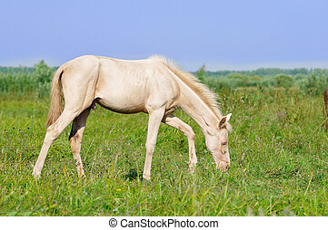 perlino akhal-teke foal grazing in field