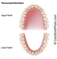 permanent, teeth, eps8