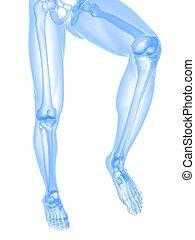 perna, raio x, ilustração