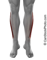 Peroneus longus male muscles anatomy anterior view isolated