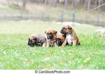 perritos, belga, malinois, pastor