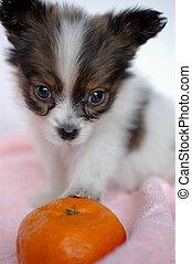 perritos, competencia el mirar fijamente
