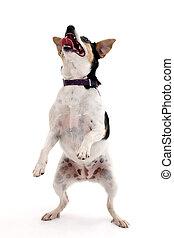 perro, bailando