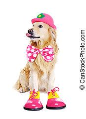 perro cobrador dorado, como, payaso, blanco, plano de fondo