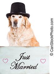 perro cobrador dorado, con, cartel, recién casados