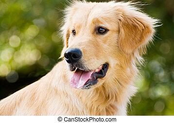 perro cobrador dorado, palo, su, hombre fuera de lengua