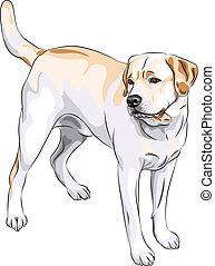 perro cobrador, labrador, casta, arma de fuego, vector, bosquejo, perro amarillo