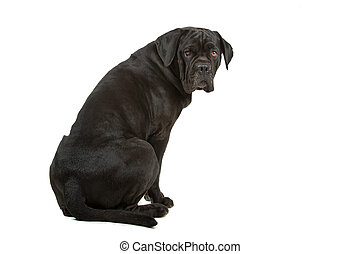 perro cobrador, perro negro, labrador