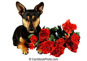 perro, con, rosas rojas