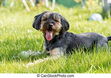 perro, corriente, alrededor, el, yarda, en, home., hogar, animales, en, un, traspatio, lawn.