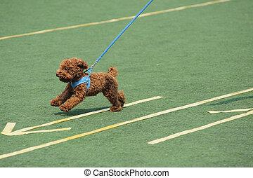 perro, corriente, juguete, poco, poodle
