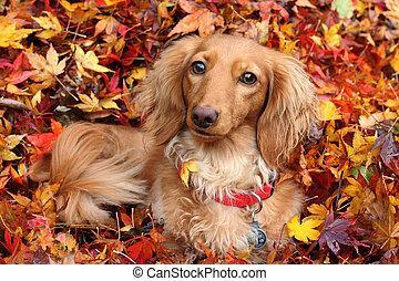 perro de perro salchicha, otoño