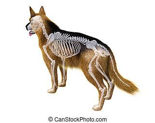 perro, esqueleto