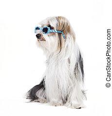 perro pequeño, con, gafas de sol