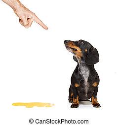 perro, pis, dueño, en casa