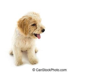perro, plano de fondo, perrito, aislado, blanco