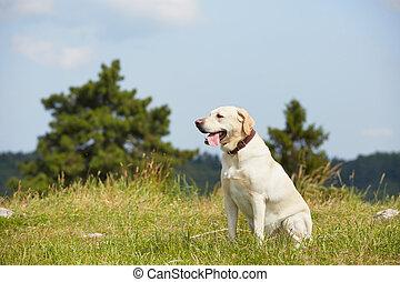 perro, pradera