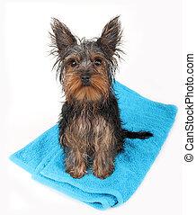 perro, sentado, mojado, azul, baño, después, towel.