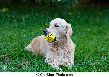 perro, un, perro cobrador dorado, con, un, juguete, en, un, boca, mentiras, en, un, hierba verde, en, el, soleado, día de verano