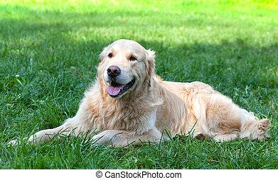 perro, un, perro cobrador dorado, mentiras, en, un, hierba verde, en, el, soleado, día de verano