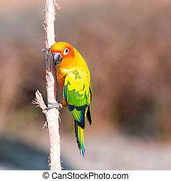 perroquet, branche, conure soleil
