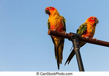 perroquet, conure, soleil