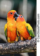 perroquet, conure soleil