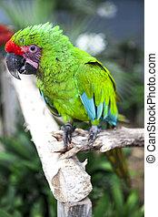 perroquet, grand, macaw., lights., clair, oiseau vert