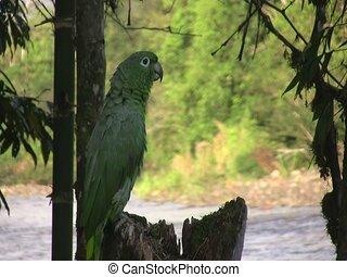 perroquet, mealy, (amazona, farinosa)