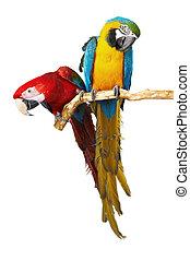 perroquets, deux