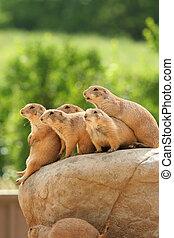 perros de las praderas, roca