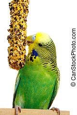 perruche, birdseed