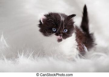 persa, gatito