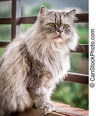 persa, gato gris