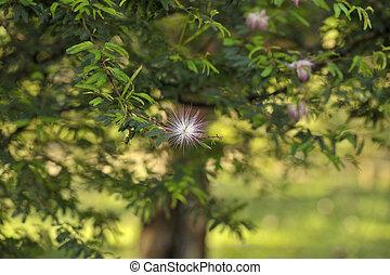 persa, seda, árbol, -, albizia, julibri
