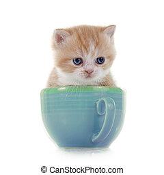 persan, chaton